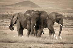 A trio of African elephants Stock Photography