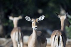 Trio of alert and cautious african impala. Alert to the possible presence of lions inthe area stock photography