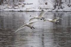 Trio of Arriving Swans Stock Photos