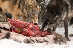 Trio av den Grey Wolves Canis lupustuggningen på detsvans hjortkadavret Arkivfoto