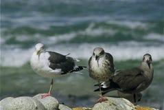 Trio av fiskmåsar - Kalifornien Royaltyfri Bild