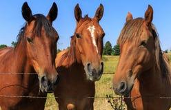 Trio av hästar Arkivbild