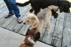 Trio av hundkapplöpning Royaltyfri Fotografi