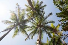 Trio av kokosnöten gömma i handflatan Arkivfoto