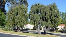 Trio av samma typ av att gråta träd i Laguna trän, Kalifornien Arkivfoton