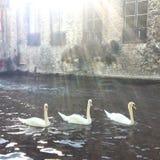 Trio av svanar i den romantiska Bruges kanalen Arkivfoton