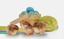 Trio of baby chicks with an Easter basket and eggs Stock Photo