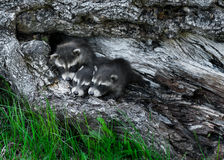 Trio of Baby Raccoons (Procyon lotor) Huddle in Tree Stock Photography