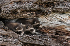 Trio of Baby Raccoons (Procyon lotor) Peek Out from Tree Stock Images