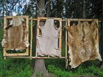 Bear Pelts Hanging In Forest Royalty Free Stock Images