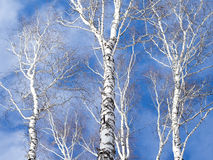 Trio of birch trunk against the sky. Royalty Free Stock Photos