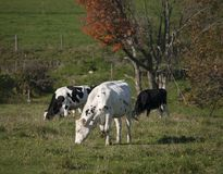 Cows Grazing on a Vermont Farm. A trio of black and white Holstein cows grazing on a farm near Irasburg, Vermont Royalty Free Stock Photos