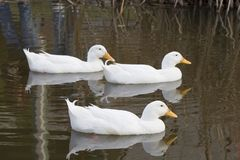 Trio blanc de canard Photo libre de droits