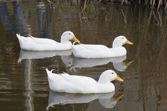 Trio blanc de canard Photo libre de droits