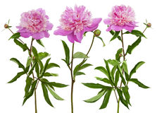 Trio of  blooming peony Stock Photography