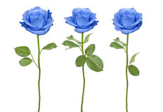Trio blue roses Royalty Free Stock Photography