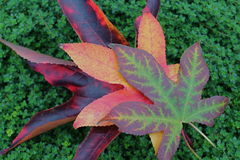 Trio of Bright Fall Leaves on a Bed of Thyme. Close up of 3 lovely fall leaves in the colors of maroon, gold, red, green, yellow and orange lay quietly on a soft Stock Photography