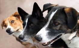 Trio canin en expectative images stock