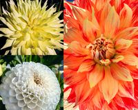 Trio of colorful dahlias Stock Photo