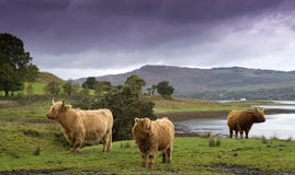 A Trio of Coos. Highland Cows on the banks of Loch Etive, Argyll, Scotland Royalty Free Stock Photos