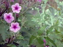 Trio cor-de-rosa da flor Fotografia de Stock Royalty Free