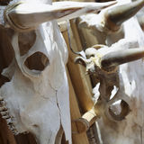 A Trio of Cow Skulls Hanging on a Wooden Rack Stock Photos