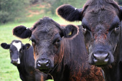 Trio of cows. 3 Cows looking straight ahead, shallow depth of field Royalty Free Stock Images