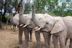 Trio d'éléphant Photos libres de droits