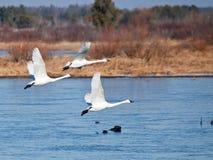 Trio da cisne de tundra fotografia de stock royalty free