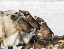 Trio da rena domesticada imagens de stock