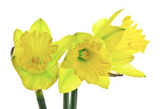 Trio of Daffodils Stock Photography