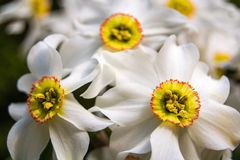 Trio of daffodils. stock images