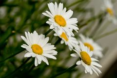 Trio of Daisies. Cheerful daisies bowing to its viewers Royalty Free Stock Photography