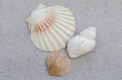 Trio das conchas do mar Foto de Stock Royalty Free
