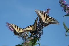 Trio de borboletas de Tiger Swallowtail no fundo do skyblue imagens de stock