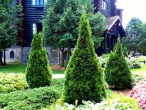 Trio de cèdres dans le jardin Photo stock
