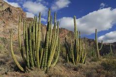 Trio de cactus de pipe d'organe images stock