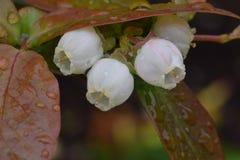 Trio de fleur de myrtille photographie stock libre de droits