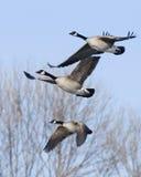 Trio de gansos do vôo Imagem de Stock Royalty Free