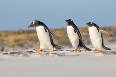 Trio de Gentoo Pengions que toma uma caminhada na praia Foto de Stock Royalty Free