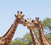 Trio de girafe images stock