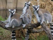 Trio de Lemur Photo libre de droits