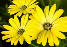 Trio de limonade de sérénité d'Osteospermum des fleurs photos stock