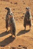 Trio de Meerkat Imagem de Stock