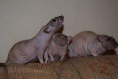 Trio de rat images libres de droits