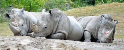 Trio de rhinocéros Photographie stock