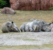 Trio de rhinocéros photographie stock libre de droits