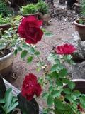 Trio de rosas vermelhas imagem de stock