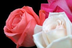 Trio de Rose sur le noir Image stock