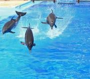Trio de salto do golfinho Imagens de Stock